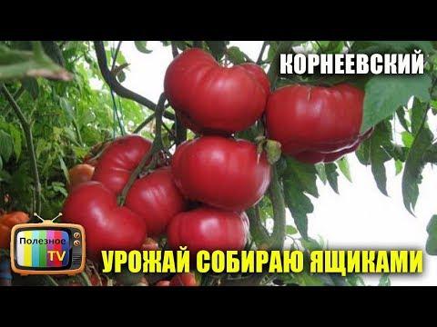 СОРТ ПОМИДОР КОРНЕЕВСКИЙ УРОЖАЙ СОБИРАЮ ЯЩИКАМИ   урожайный   урожайные   помидоры   полезное   томатов   томаты   огород   лучшие   сорта   самые