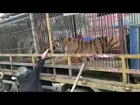 Circus tiger bites man's hand in central China