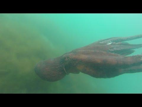 ловля осьминога во владивостоке