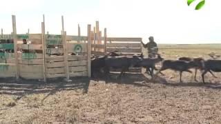 На Ямале в этом году вакцинируют от сибирской язвы 400 тысяч оленей