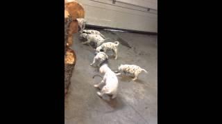 Dalmatian Puppies Play Tug Of War