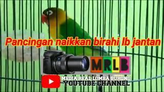 Download lagu Pancing birahi jantan ke gacor,,,,,, suara ampuh mujarab,,, video asli jelas