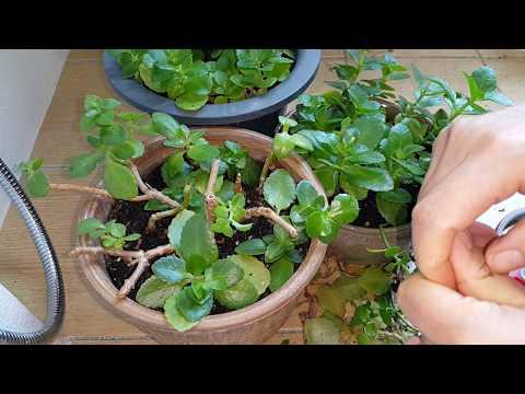 카랑코에 *가지치기* 심어주기Plant Pruning in Kal