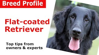 Flatcoated Retriever Dog Breed Guide