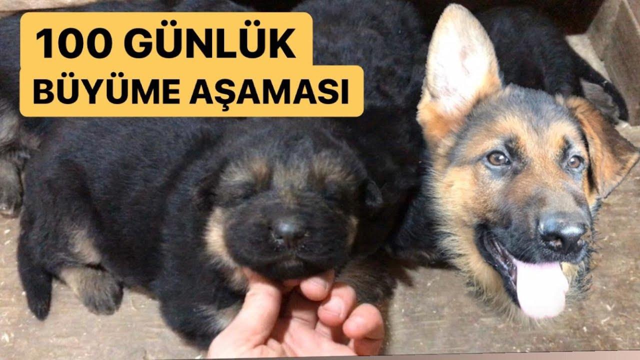 Alman Kurdu Asil bir günde ne yer ? feeding german shepherd , Fütterung Deutscher Schäferhund