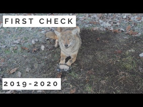 coyote-trapping:-first-check-day-2019-2020