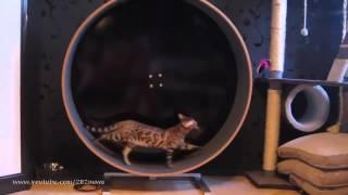 Кот на беговой дорожке!  Cat on a simulator