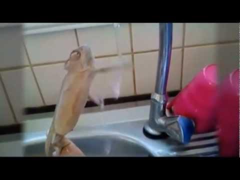 Chamäleon beim Händewaschen