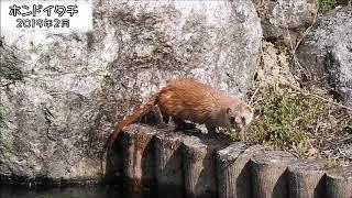 ニホンイタチ Japanese Weasel (Mustela itatsi)【狩猟獣(オスのみ)】