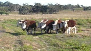 Helen Mcdonald Working Dogs On Hereford Steers