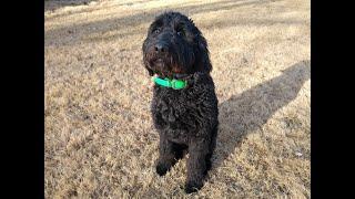 Thor- 7mo Goldendoodle- Dog Training Omaha/Lincoln, Nebraska