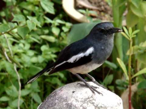 Magpie Robin singing 01
