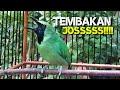Panggilan Cucak Ijo Betina Gacor Mancing Ijo Jantan Ikutan Emosi  Mp3 - Mp4 Download