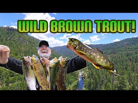 Fishing for Wild Brown Trout with Night Crawlers