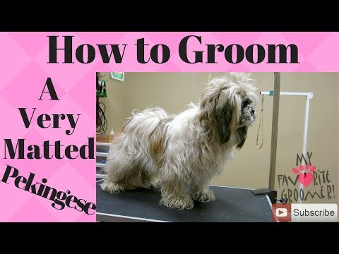 How to groom a Pekingese very matted