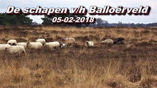 De schapen van het Balloërveld 05-02-2018.