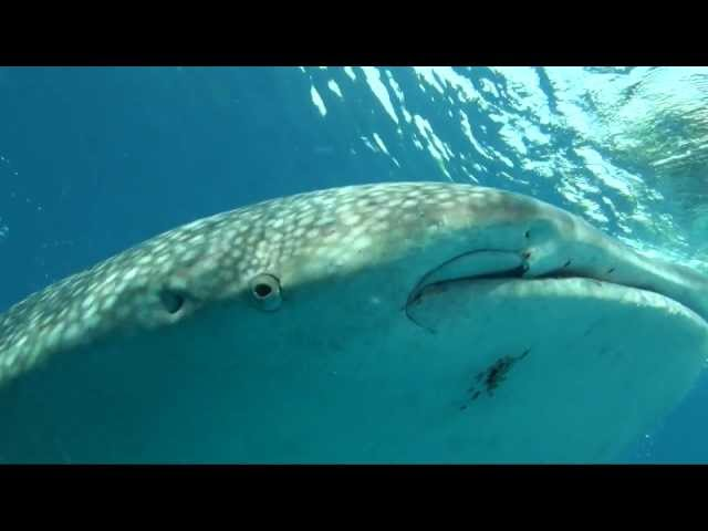 Whale Sharks of Luzon