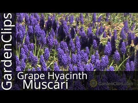 Grape Hyacinth - Muscari Armeniacum - How To Grow Grape Hyacinth