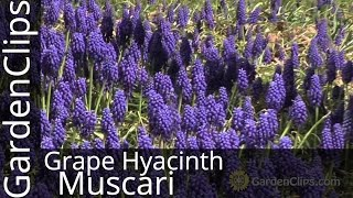 Grape Hyacinth - Muscari armeniacum - How to grow Grape Hyacinth