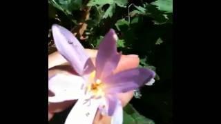 colchicum autumnale