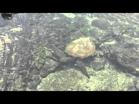 Kona Refuge tide pool turtle, Pu`uhonua O Hōnaunau National Historical Park,