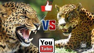 Ягуар против леопарда. Jaguar against Leopard. Животные. Батл животных.