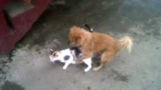 Dog jumping a cat