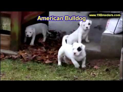 American Bulldog, Puppies For Sale, In, Bellevue, Washington, WA, Yakima, Kitsap, Thurston, Clark, S