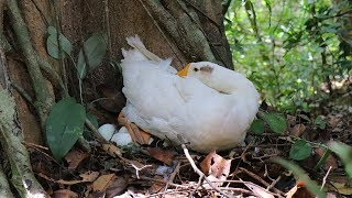 Primitive Technology - Found A Duck Nest in Forest n Cook Underground to survival