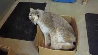 Max Canada Lynx Play