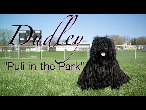 Hungarian Puli in the Park