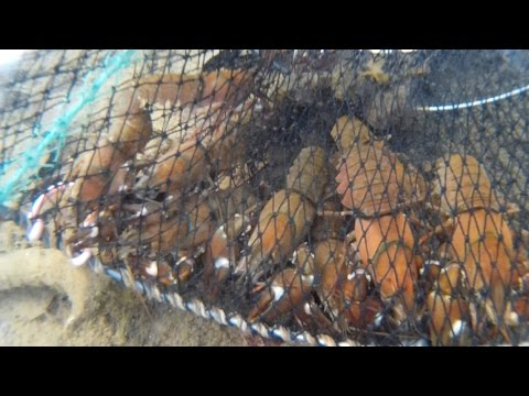 Clear Underwater Crayfish Trapping In BC