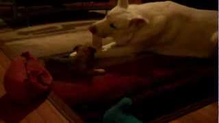 Puppy throws a fit and gets his way Thumbnail