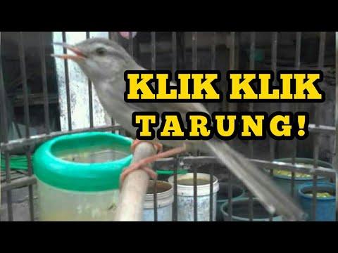 Burung Klik Klik | Ciblek Sawah Fighter! Untuk memancing bunyi burung bahan Mp3