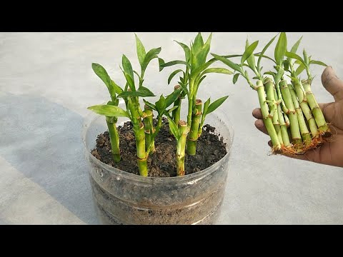 how-to-grow-lucky-bamboo-faster-in-soil-|-grow-best-indoor-plants-easily-in-soil