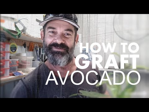 HOW TO GRAFT AN AVOCADO TREE