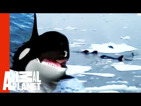 Orcas Attack Seal