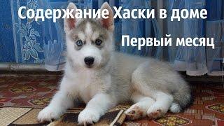 Содержание щенка Сибирского Хаски в доме. Первый месяц.