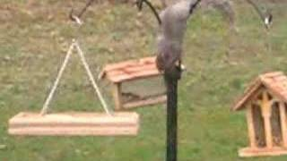 Squirrel Jumps on Feeder from tree