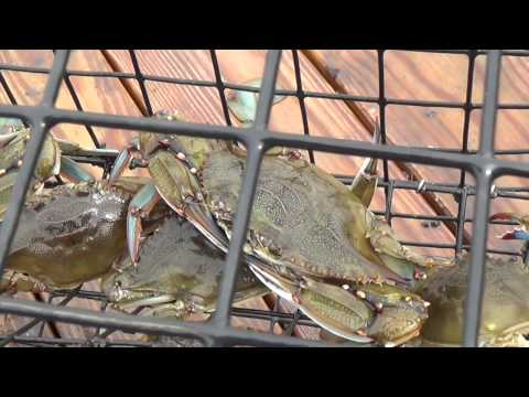Monster Crabs On The Jersey Shore