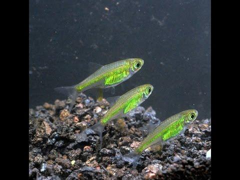 Neon Green Rasbora, Microdevario kubotai-Species Spotlight