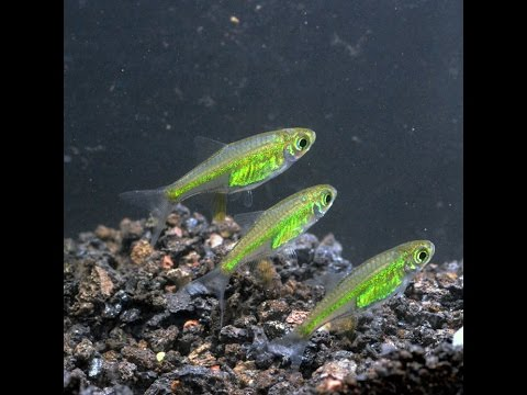 Neon Green Rasbora Microdevario kubotai Species Spotlight #2: hqdefault