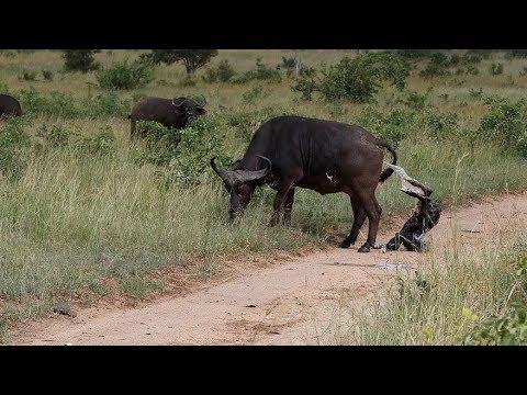 Buffalo Stepper