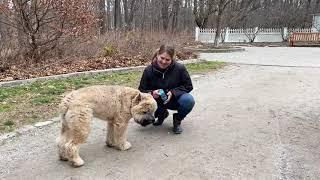Best Dog Training Toledo, Ohio! 7 Month Old Bouvier Des Flandres, Annabelle!