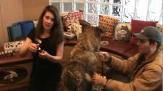 Calgary Veterinarian Shows Raindrop Essential Oil Therapy On German Shepherd Dog