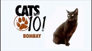 Порода кошек Бомбейская