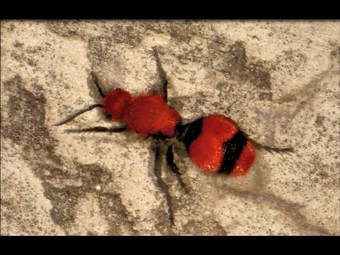 Red Velvet Ant or Cow Killer its really a Wasp! They look like big red and black ants.