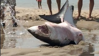 GREAT WHITE SHARK BEACHES IN CAPE COD Amazing Footage!!! thumbnail