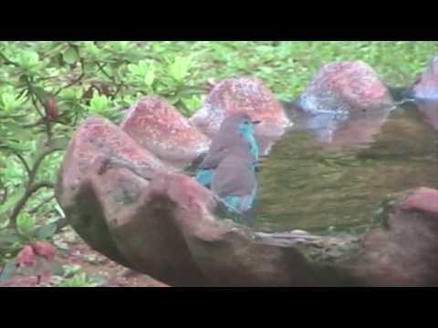 Blue Waxbill - SAbirdz