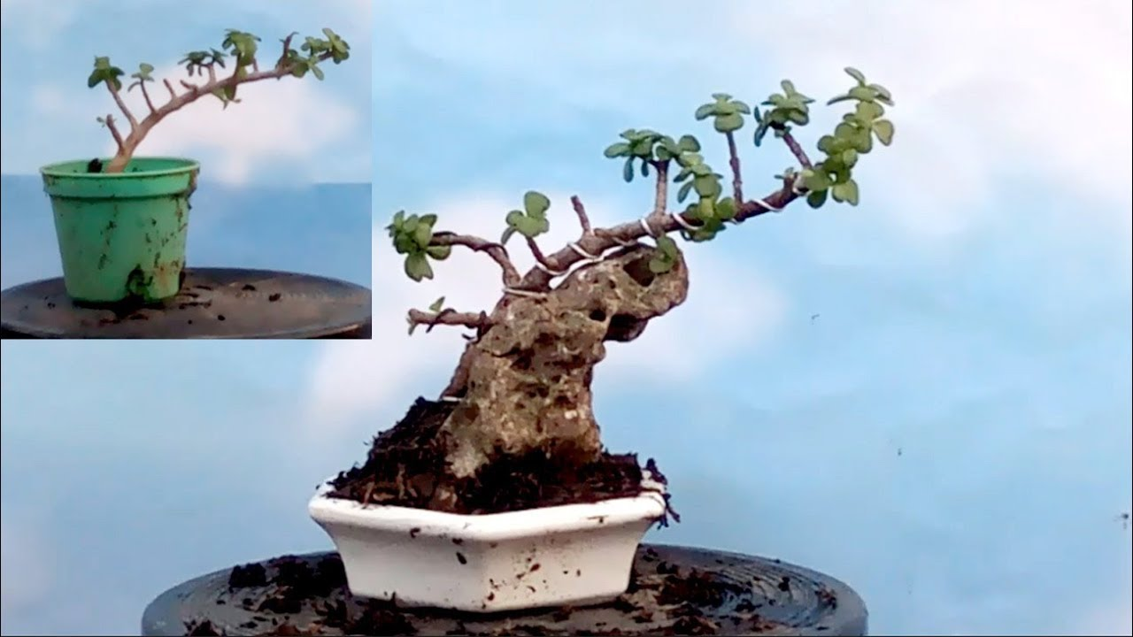 Membuat Mame Bonsai Bahan Portulacaria Dengan Batu Karang